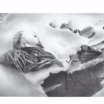 Blue Phase Snow Goose - Oie des Neiges Phase Bleue - By Canadian Artist Laurene Spino